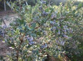 Plantatie afine, 5.2 ha, soi tarziu, certificata Global G.A.P. ,anul 8 productie